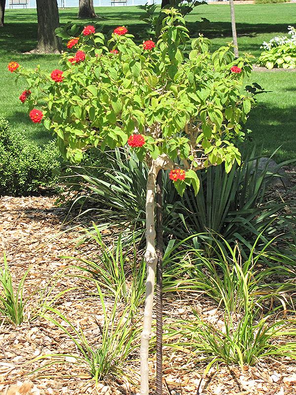 Luscious Citrus Blend Lantana (tree form) (Lantana camara 'Luscious Citrus Blend (tree form)') at DeWayne's