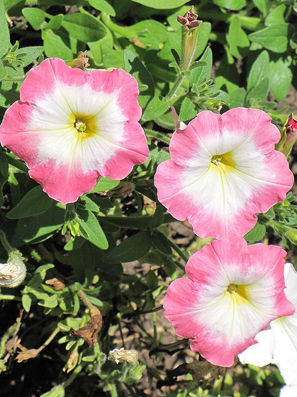 Madness Rose Morn Petunia (Petunia 'Madness Rose Morn') at DeWayne's