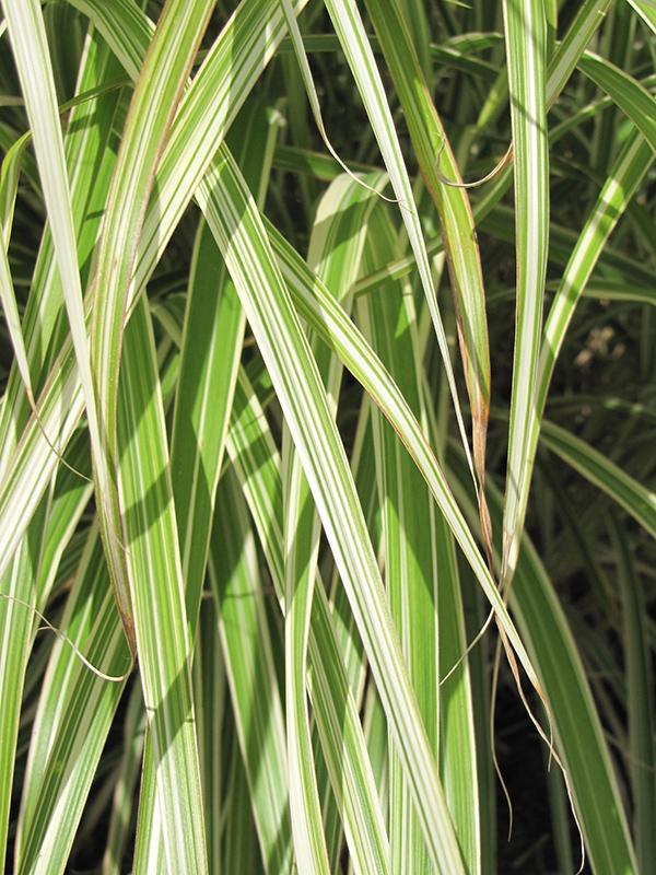 Morning Light Maiden Grass (Miscanthus sinensis 'Morning Light') at DeWayne's