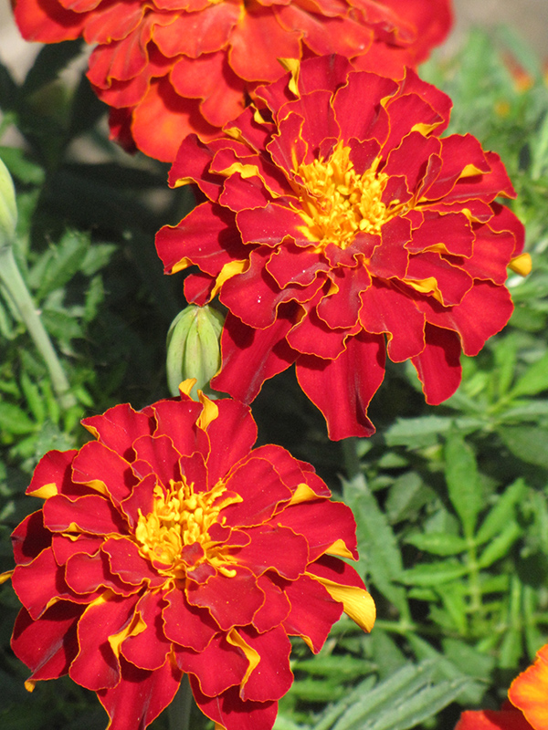 Safari Red Marigold (Tagetes patula 'Safari Red') at DeWayne's