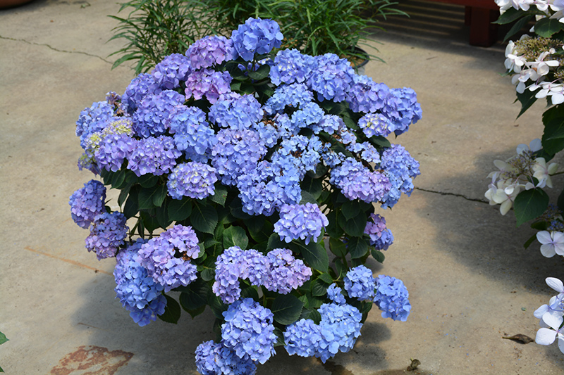 Let's Dance Blue Jangles Hydrangea (Hydrangea macrophylla 'SMHMTAU') at DeWayne's