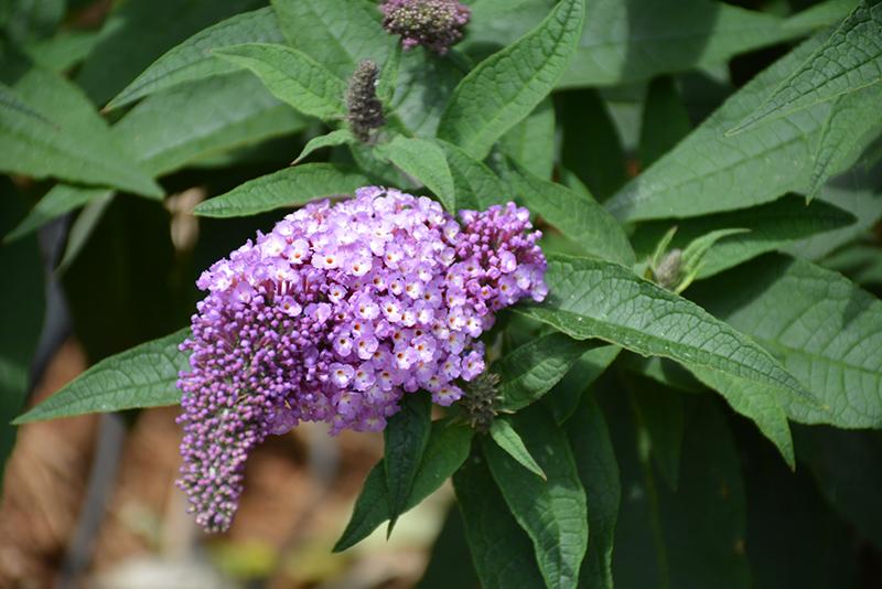 Pugster Amethyst Butterfly Bush (Buddleia 'SMNBDL') at DeWayne's