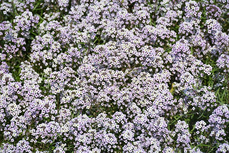 Blushing Princess Sweet Alyssum (Lobularia 'Blushing Princess') at DeWayne's