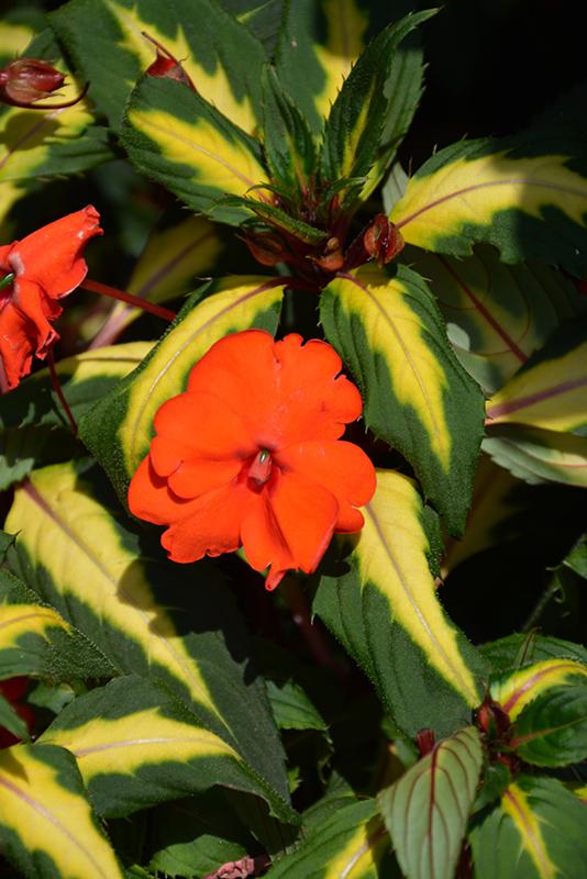 SunPatiens Spreading Tropical Orange New Guinea Impatiens (Impatiens 'SunPatiens Spreading Tropical Orange') at DeWayne's