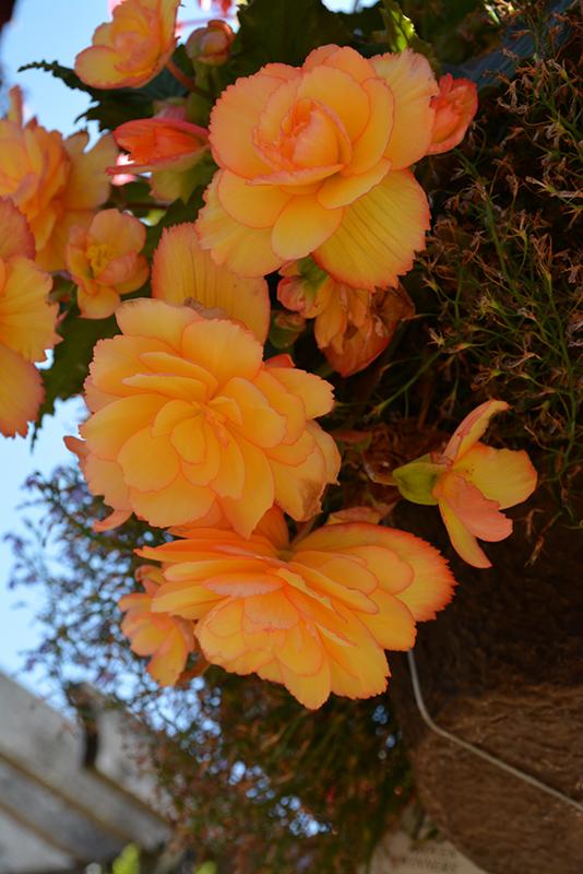 Illumination Golden Picotee Begonia (Begonia 'Illumination Golden Picotee') at DeWayne's