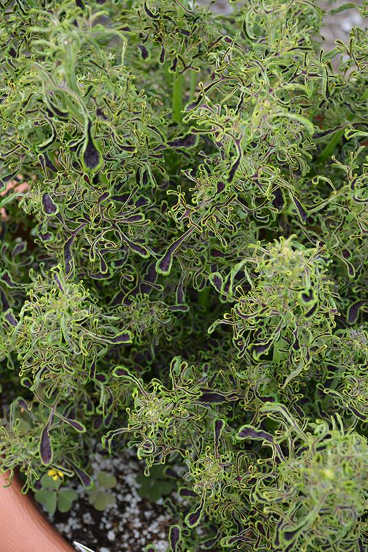 Under The Sea Sea Weed Coleus (Solenostemon scutellarioides 'Sea Weed') at DeWayne's