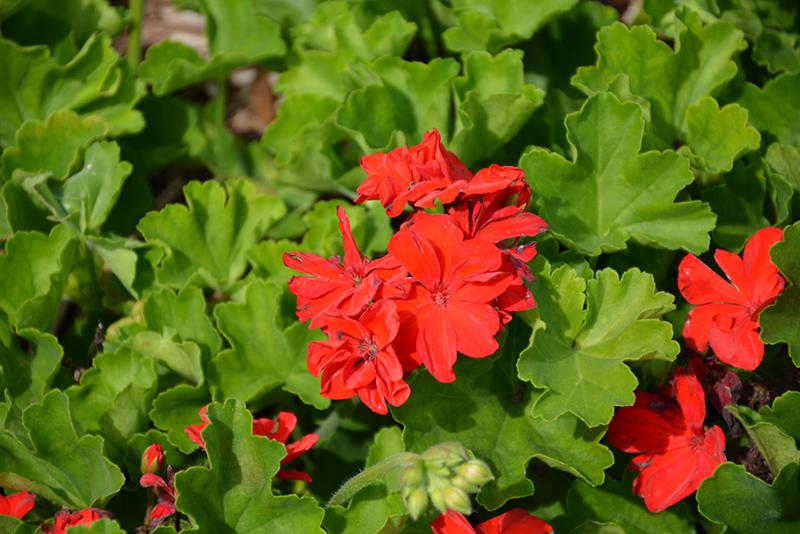 Calliope Large Scarlet Fire Geranium (Pelargonium 'Calliope Large Scarlet Fire') at DeWayne's