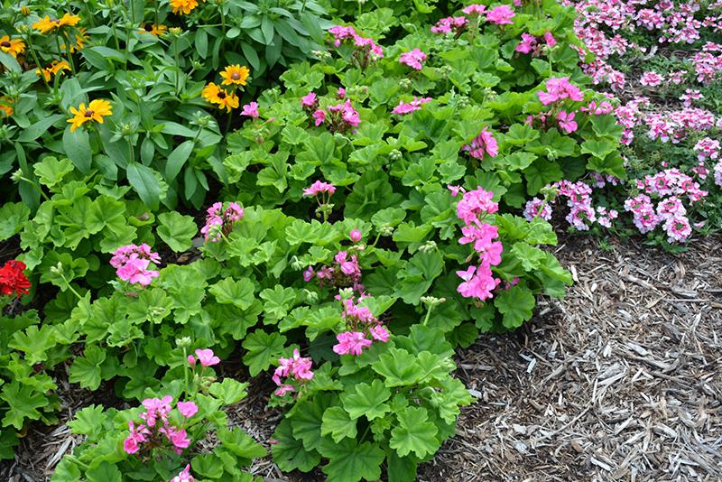 Calliope Large Pink Geranium (Pelargonium 'Calliope Large Pink') at DeWayne's