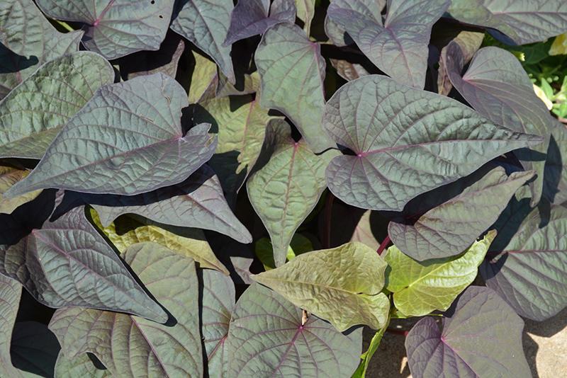 Sweet Georgia Heart Purple Sweet Potato Vine (Ipomoea batatas 'Sweet Georgia Heart Purple') at DeWayne's