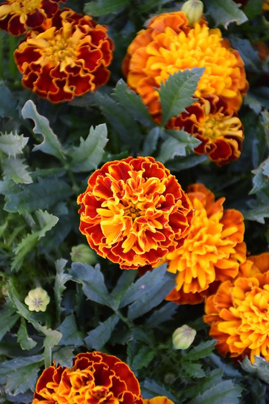 Hot Pak Spry Marigold (Tagetes patula 'PAS1077393') at DeWayne's