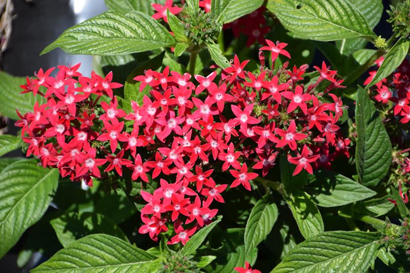 Graffiti Bright Red Star Flower (Pentas lanceolata 'Graffiti Bright Red') at DeWayne's