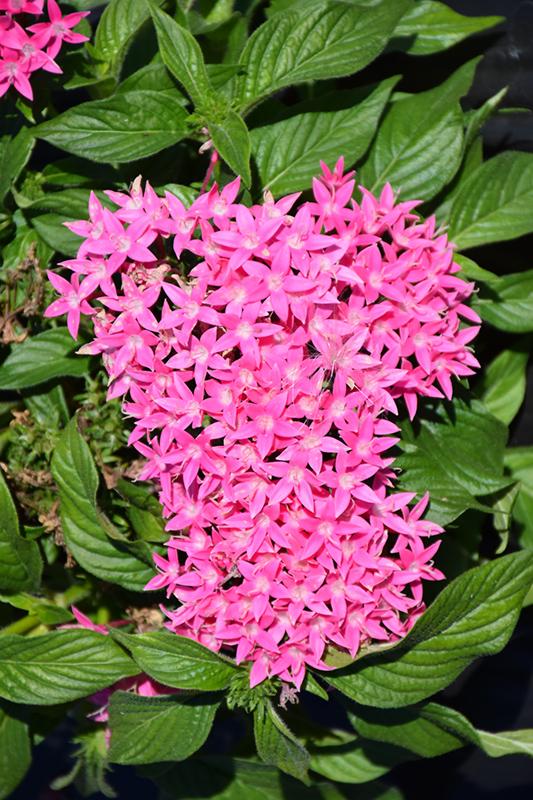 Lucky Star Dark Pink Star Flower (Pentas lanceolata 'Lucky Star Dark Pink') at DeWayne's