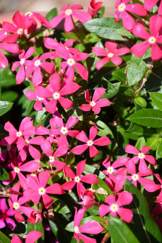 Soiree Kawaii Coral Vinca (Catharanthus roseus 'Soiree Kawaii Coral') at DeWayne's