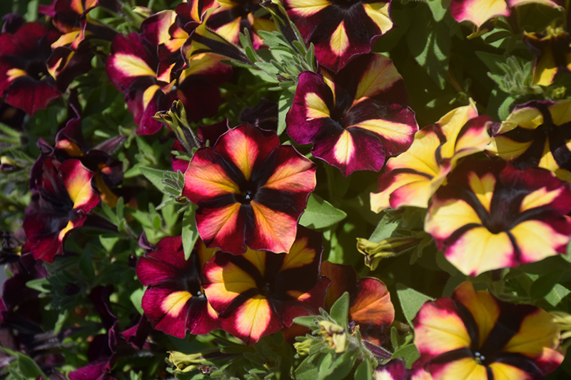 Crazytunia KaBloom! Petunia (Petunia 'Crazytunia KaBloom!') at DeWayne's