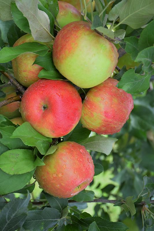 Honeycrisp Apple (Malus 'Honeycrisp') at DeWayne's