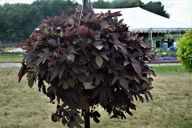 Sweet Caroline Red Sweet Potato Vine (Ipomoea batatas 'Sweet Caroline Red') at DeWayne's