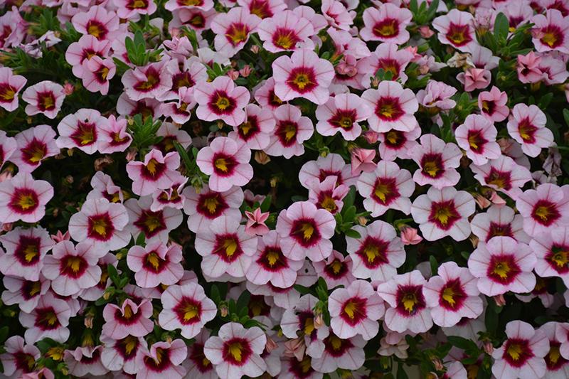 MiniFamous Uno Pink Strike Calibrachoa (Calibrachoa 'KLECA17029') at DeWayne's