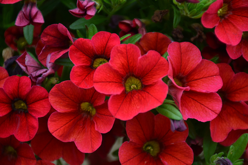 MiniFamous Uno Red Calibrachoa (Calibrachoa 'KLECA17038') at DeWayne's