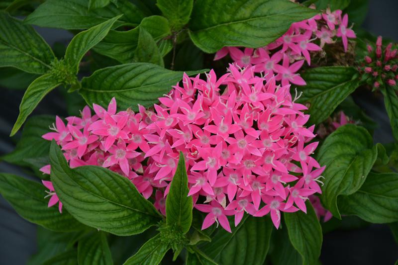 Lucky Star Deep Pink Star Flower (Pentas lanceolata 'PAS1187213') at DeWayne's