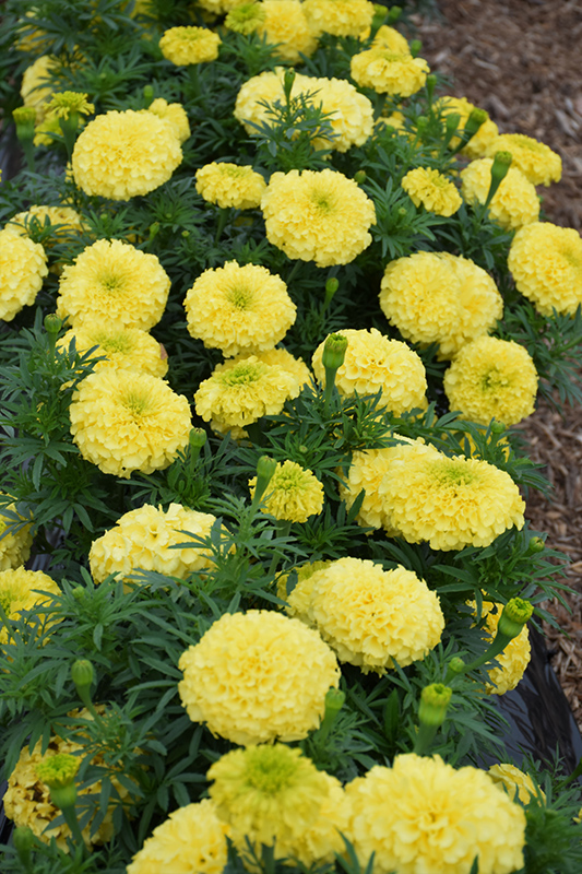 Antigua Primrose Marigold (Tagetes erecta 'Antigua Primrose') at DeWayne's