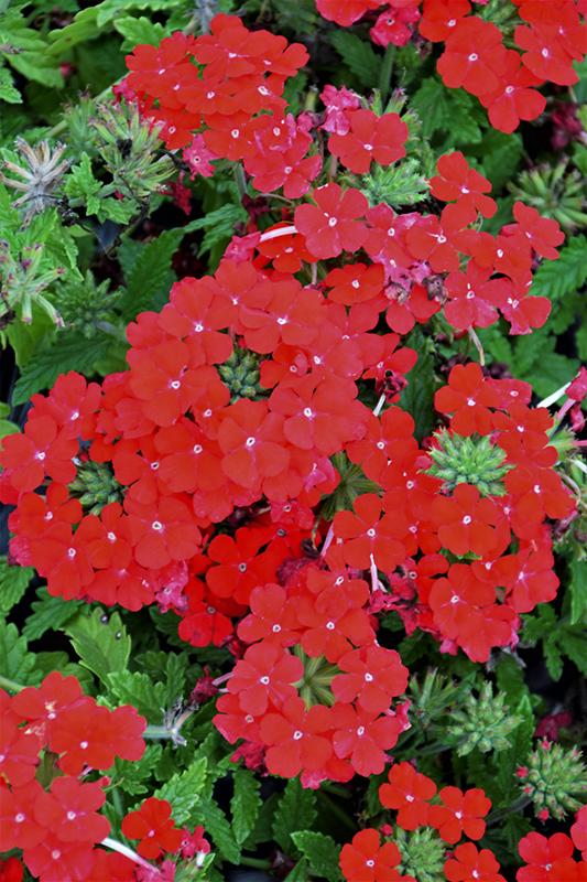Lanai Compact Scarlet Verbena (Verbena 'Lanai Compact Scarlet') at DeWayne's