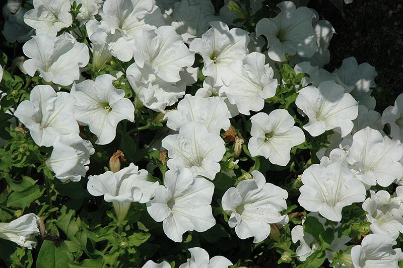 Surfinia White Petunia (Petunia 'Surfinia White') at DeWayne's