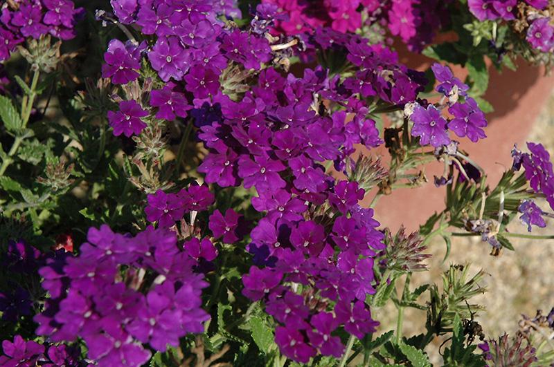 Lanai Blue Denim Verbena (Verbena 'Lanai Blue Denim') at DeWayne's