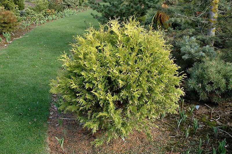 Golden Globe Arborvitae (Thuja occidentalis 'Golden Globe') at DeWayne's