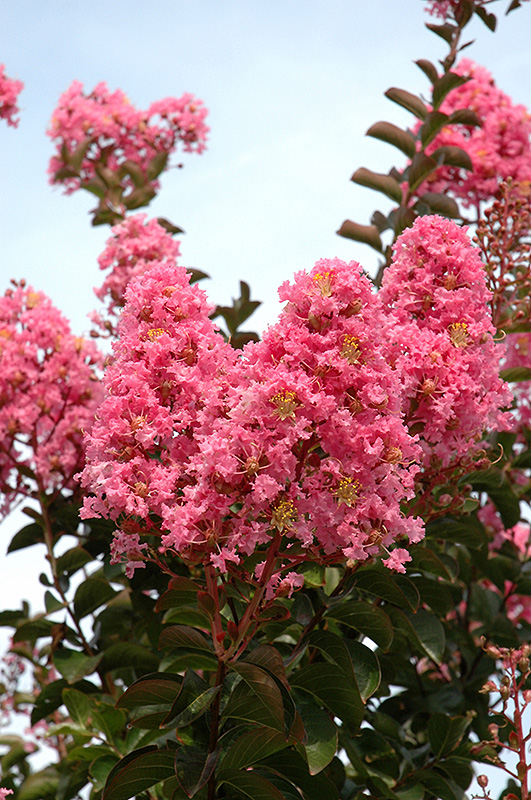 Sioux Crapemyrtle (Lagerstroemia 'Sioux') at DeWayne's