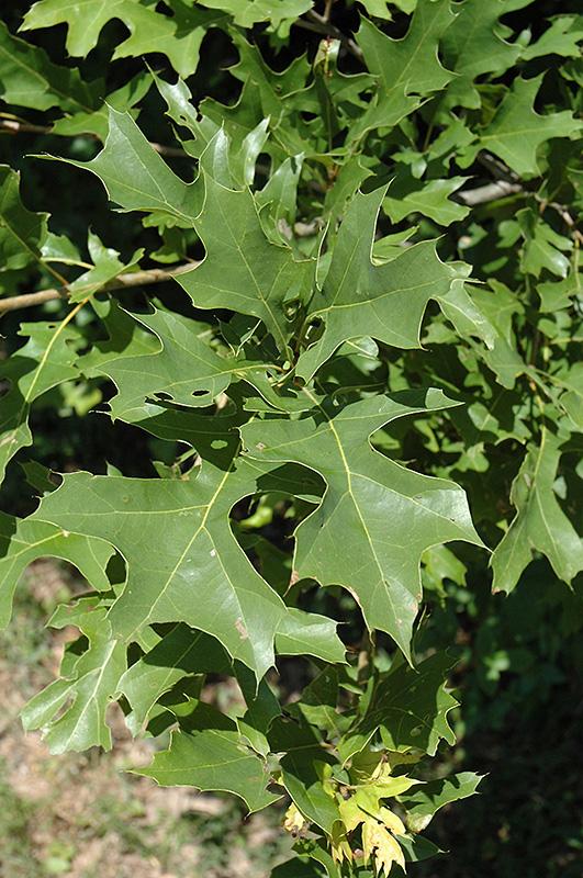 Nuttall's Oak (Quercus texana) at DeWayne's