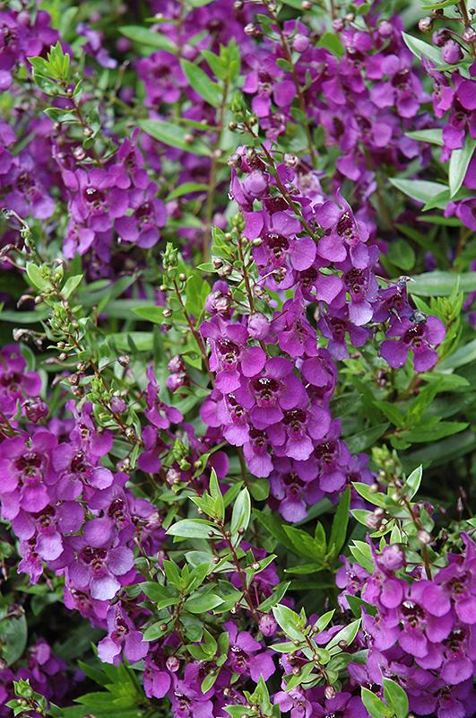 Archangel Dark Purple Angelonia (Angelonia angustifolia 'Archangel Dark Purple') at DeWayne's