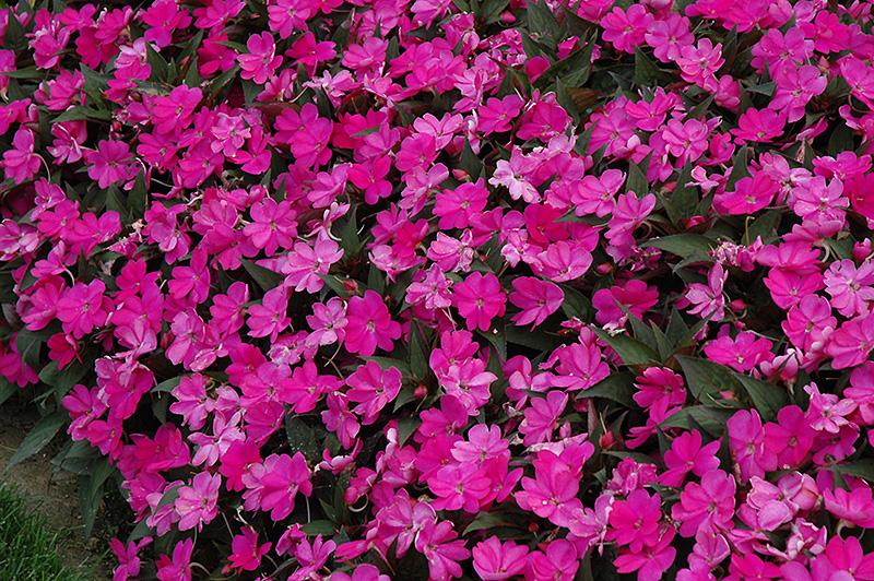 SunPatiens Compact Lilac New Guinea Impatiens (Impatiens 'SunPatiens Compact Lilac') at DeWayne's