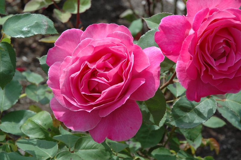 Pink Peace Rose (Rosa 'Pink Peace') at DeWayne's