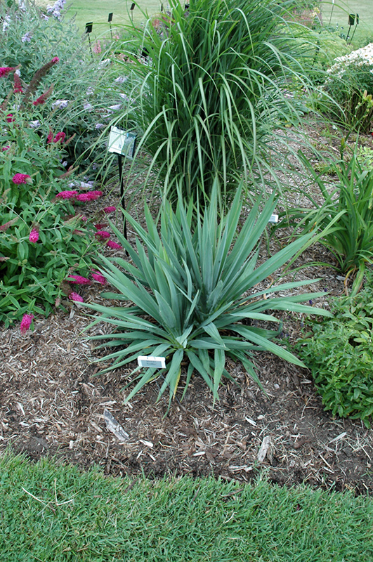 Excalibur Adam's Needle (Yucca filamentosa 'Excalibur') at DeWayne's