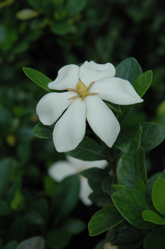 Kleim's Hardy Gardenia (Gardenia jasminoides 'Kleim's Hardy') at DeWayne's