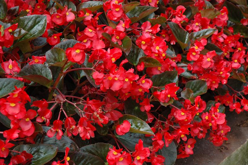 Whopper Red Bronze Leaf Begonia (Begonia 'Whopper Red Bronze Leaf') at DeWayne's