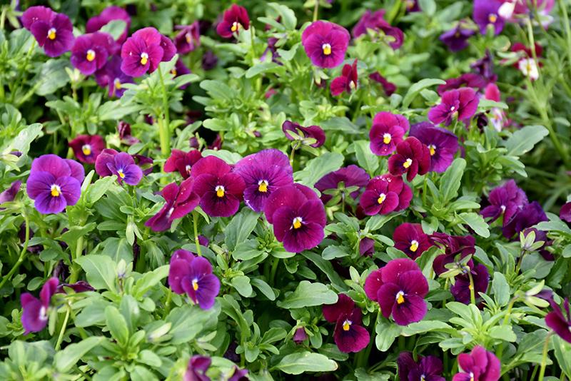 Sorbet Carmine Rose Pansy (Viola 'Sorbet Carmine Rose') at DeWayne's