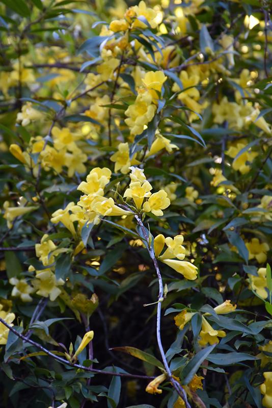 Carolina Yellow Jessamine (Gelsemium sempervirens) at DeWayne's