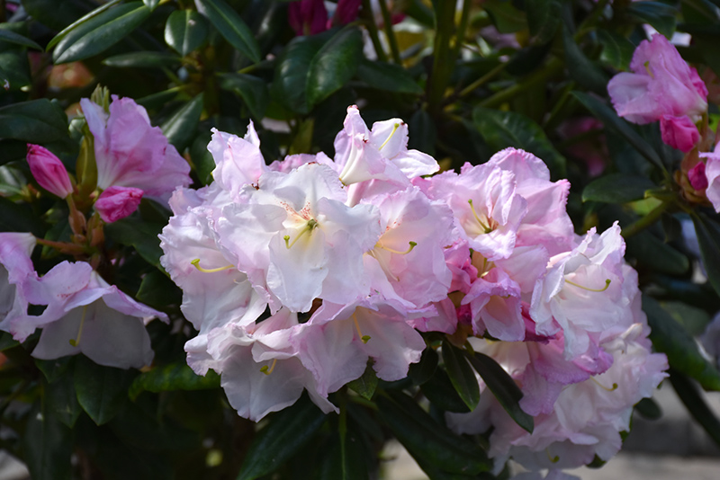 Southgate Breeze Rhododendron (Rhododendron 'Janet Blair') at DeWayne's