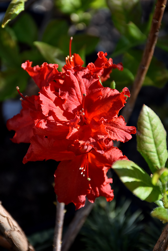 Red Sunset Azalea (Rhododendron 'Red Sunset') at DeWayne's