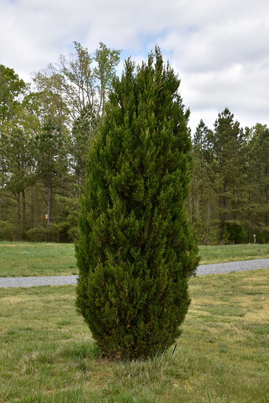 Spartan Juniper (Juniperus chinensis 'Spartan') at DeWayne's