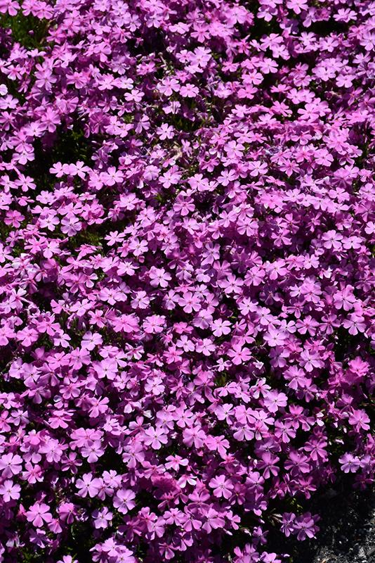 Emerald Pink Moss Phlox (Phlox subulata 'Emerald Pink') at DeWayne's