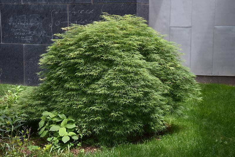 Green Hornet Cutleaf Japanese Maple (Acer palmatum 'Green Hornet') at DeWayne's