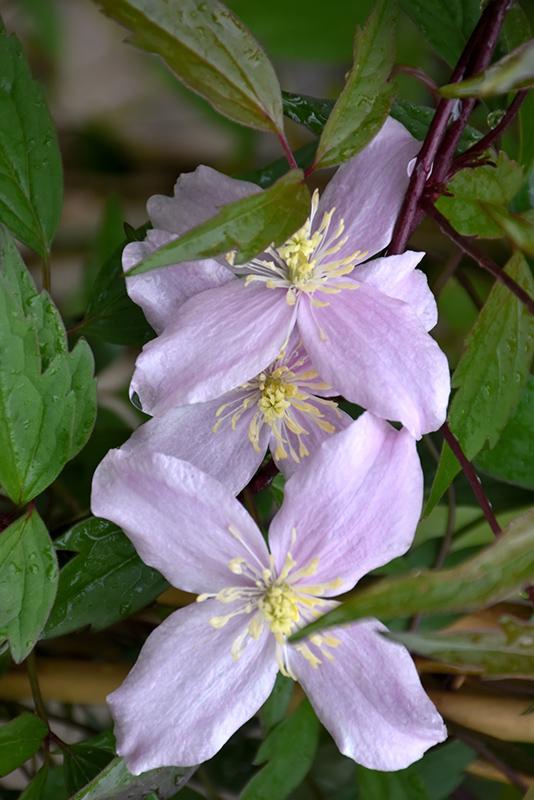Pink Anemone Clematis (Clematis montana var. rubens) at DeWayne's