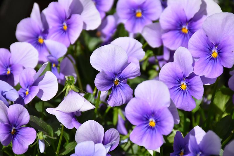 Sorbet Icy Blue Pansy (Viola 'Sorbet Icy Blue') at DeWayne's