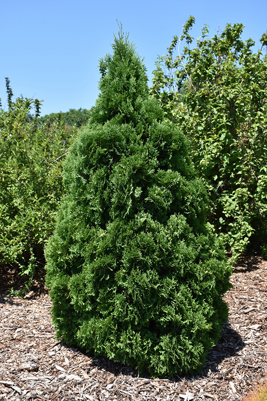 Holmstrup Arborvitae (Thuja occidentalis 'Holmstrup') at DeWayne's