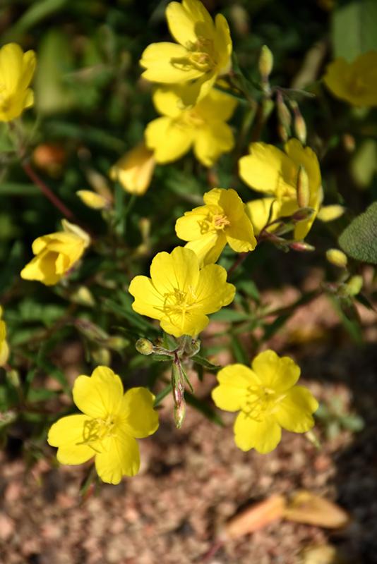 Lemon Drop Primrose (Oenothera 'Innoeno131') at DeWayne's