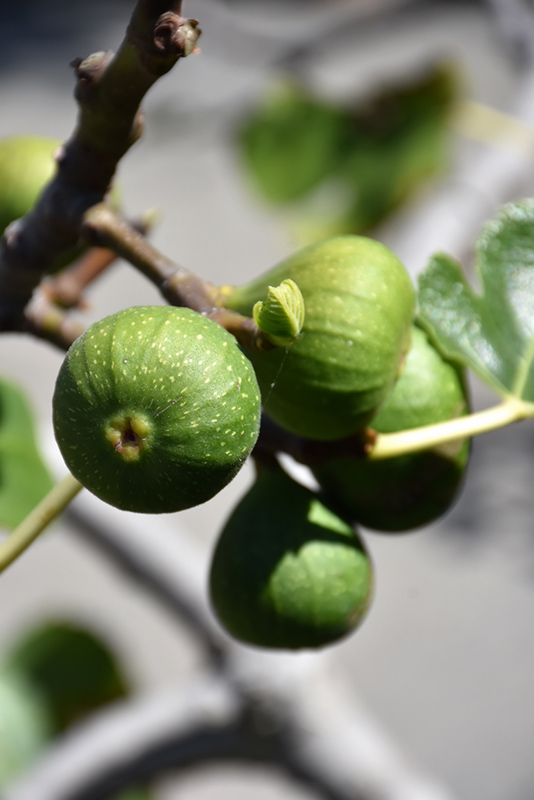 Chicago Hardy Fig (Ficus carica 'Chicago Hardy') at DeWayne's