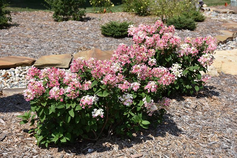 Little Quick Fire Hydrangea (Hydrangea paniculata 'SMHPLQF') at DeWayne's