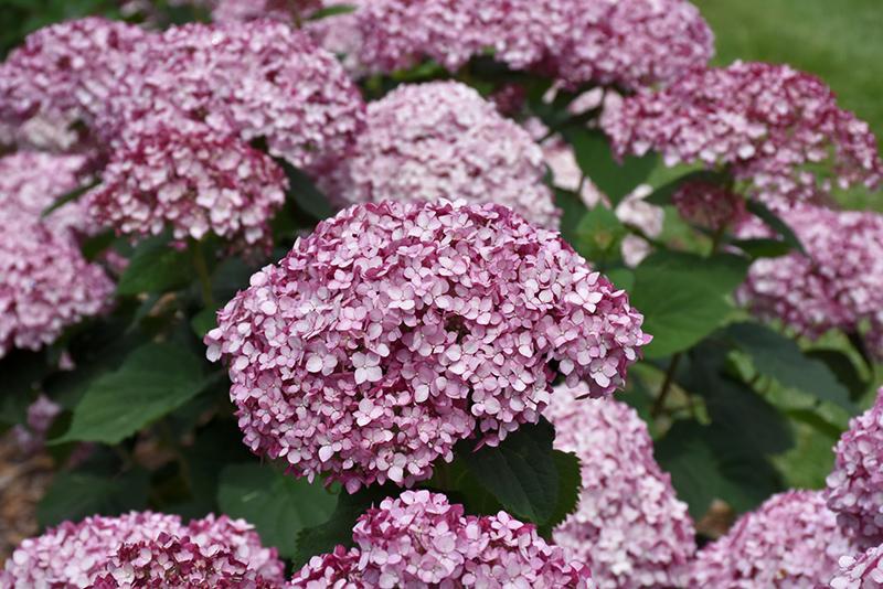 Incrediball Blush Smooth Hydrangea (Hydrangea arborescens 'NCHA4') at DeWayne's